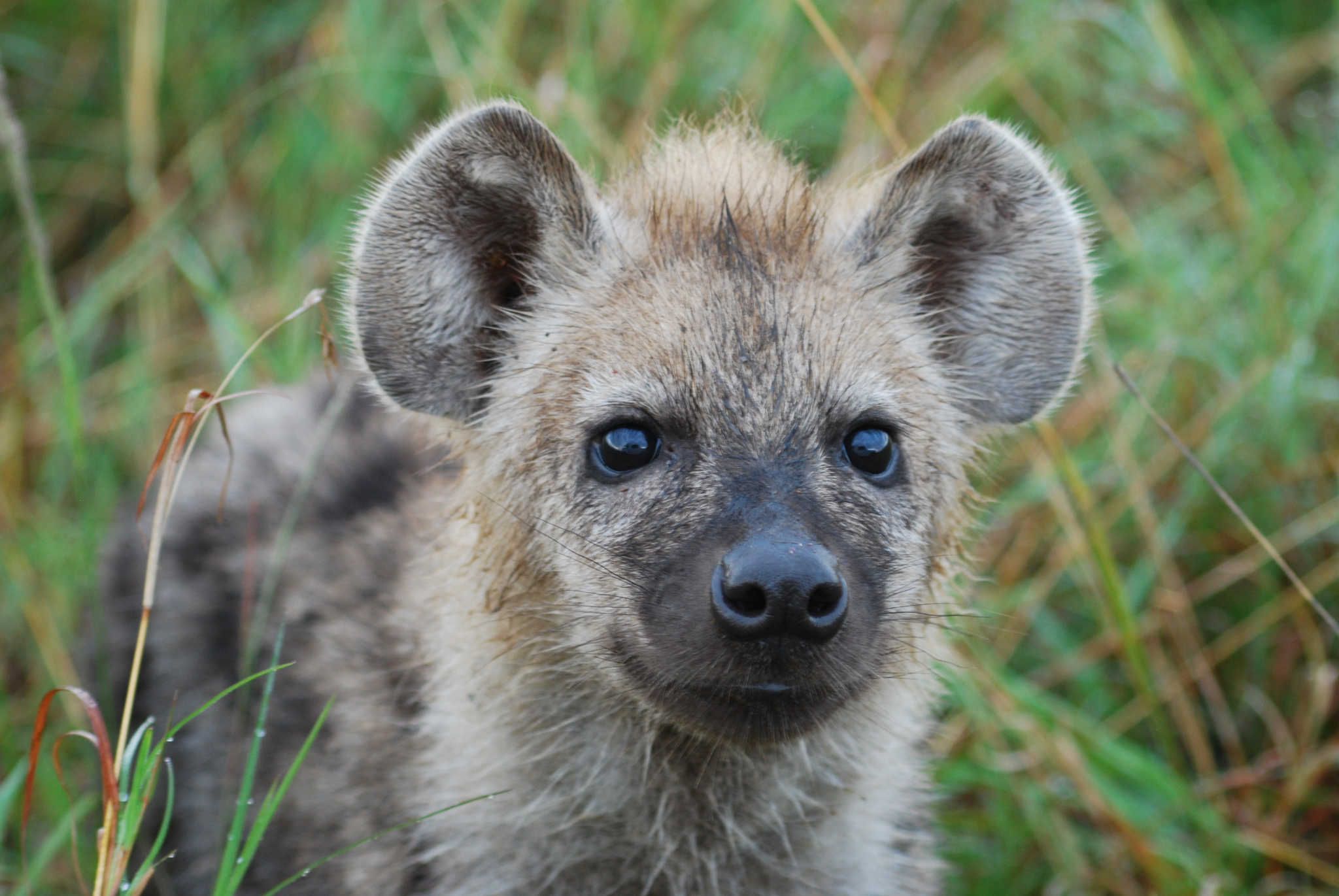 Picture of a Hyena