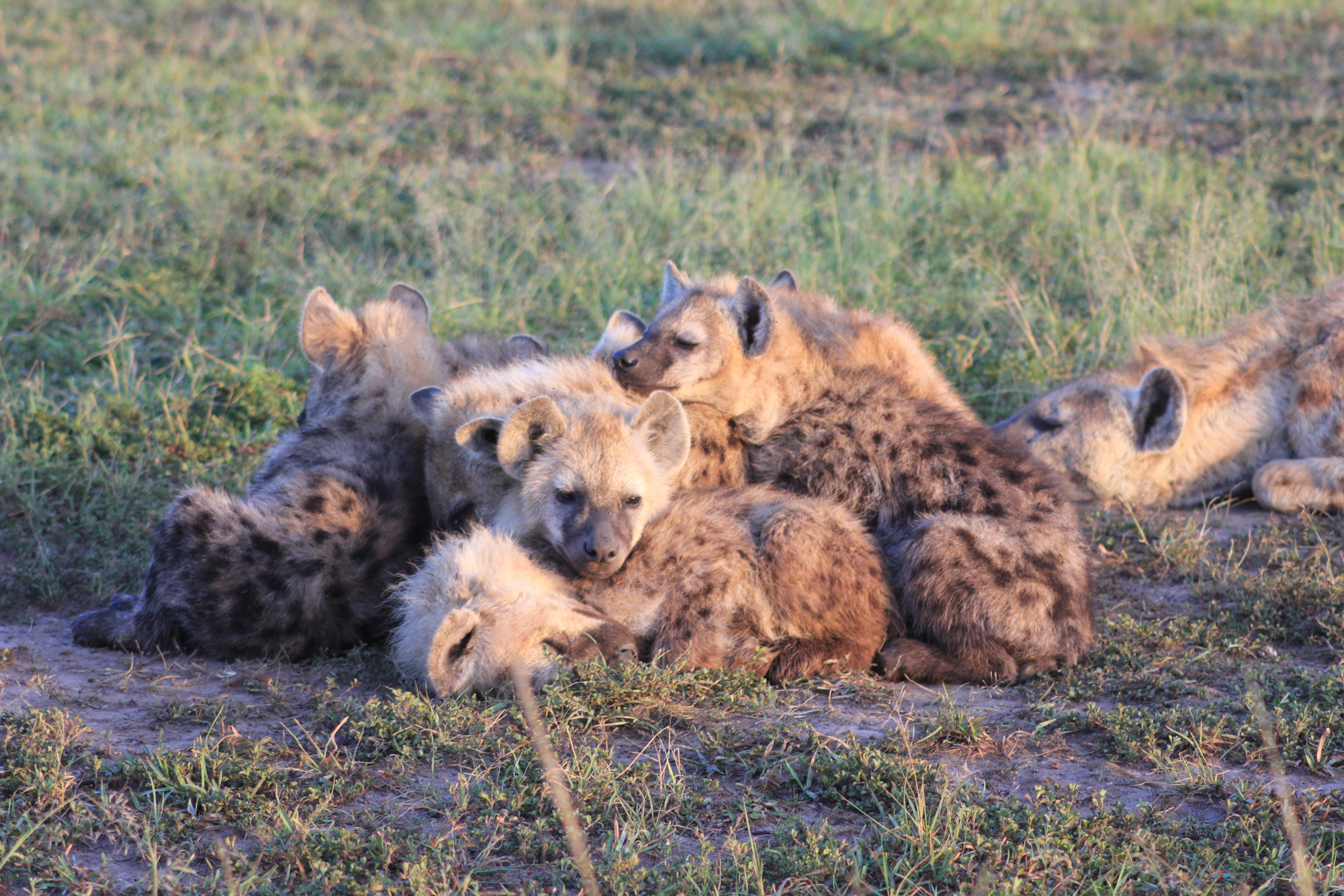 A pack of Hyena cubs