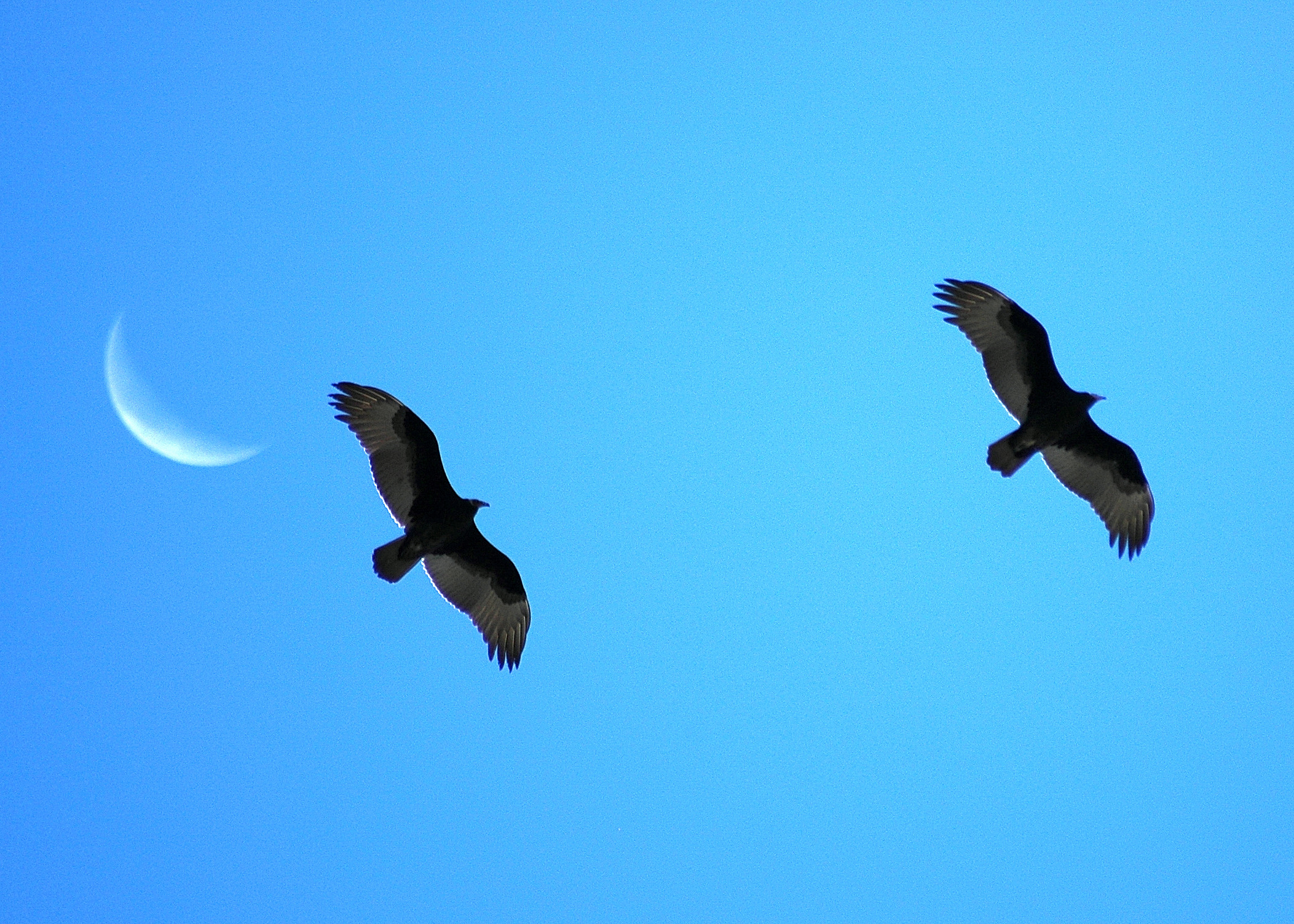 two turkey vultures pass over hawk watch at lucky peak with a faint crescent moon in the background