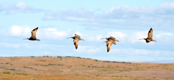 four curlews fly in a row, with blue sky and grassy fields in the background