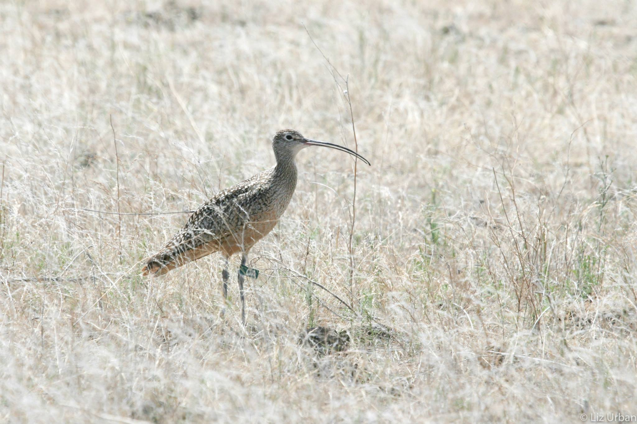 carl the curlew standing in a brown field of cheat grass