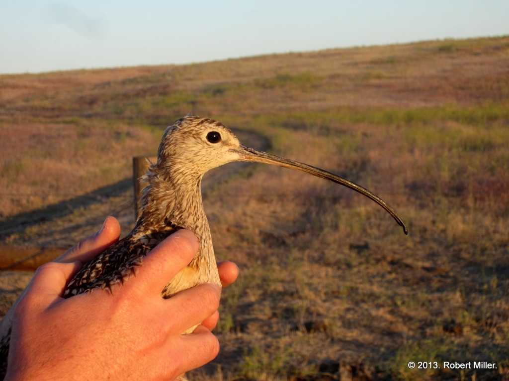 Emmett the curlew