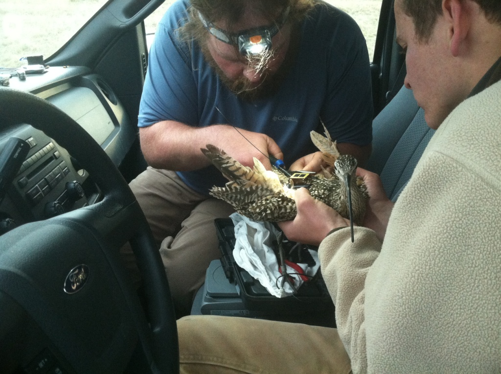 A photo we took of CA while attaching his transmitter.
