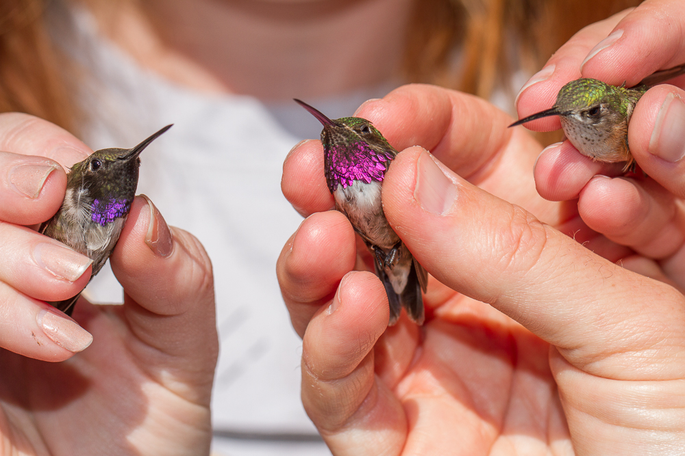 A regular male Black-chinned, the hybrid, and an adult female Calliope. Photo by Dale Toweill