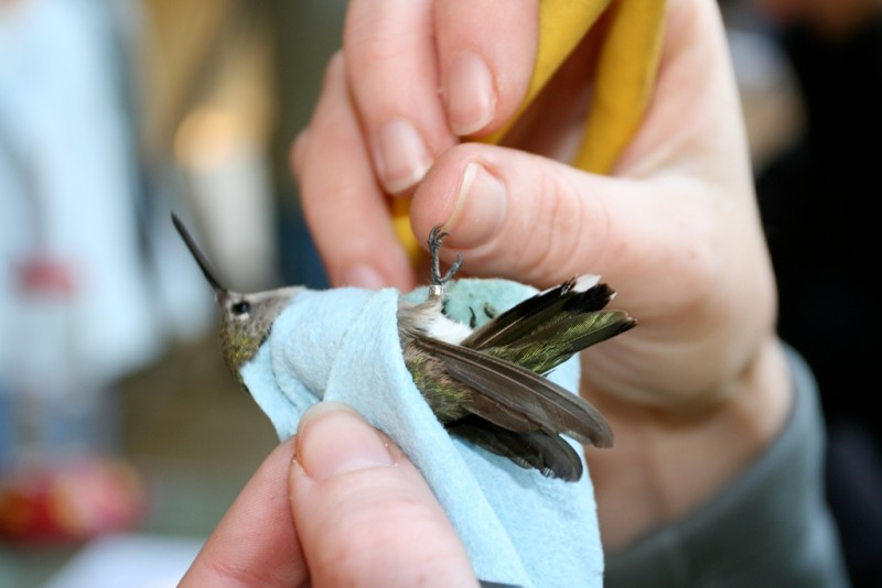 a black-chinned hummingbird with a tiny aluminum band on its leg
