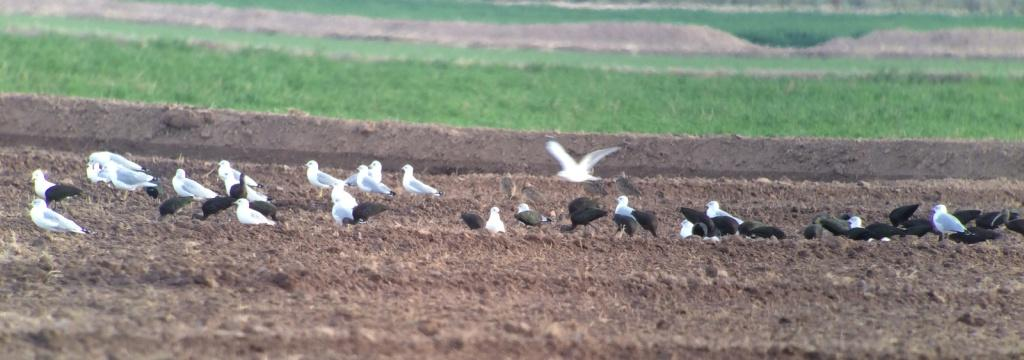 A few of the Long-billed Curlews in this recently-irrigated field.