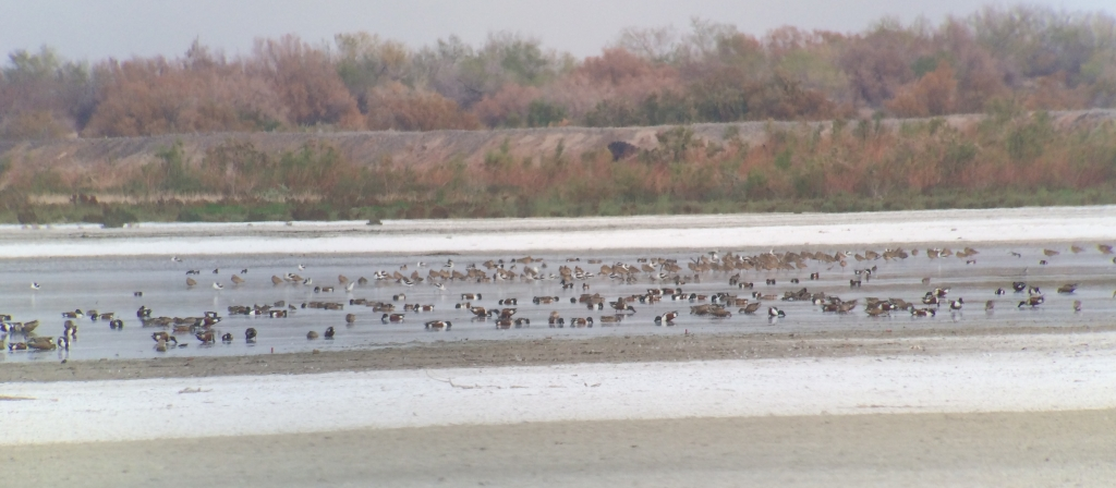 Swarms of waterbirds, especially including Long-billed Curlews, American Avocets, and Northern Shovelers, at the Salton Sea NWR. (picture taken through my scope at 50x)