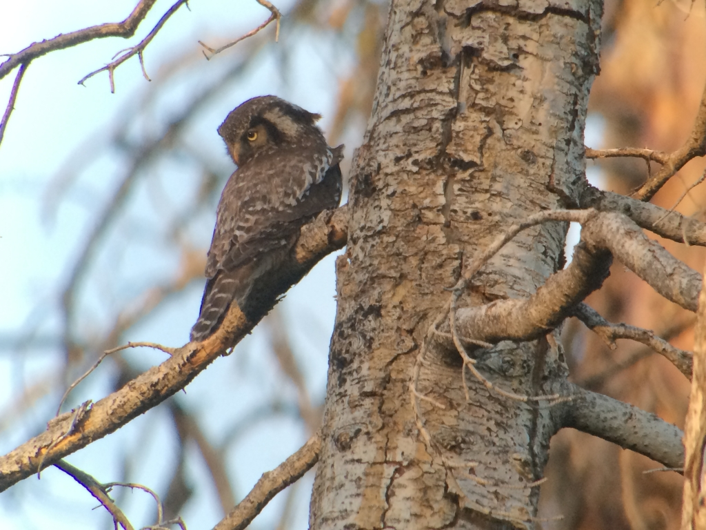 Adult male Northern Hawk Owl on the Boise National Forest