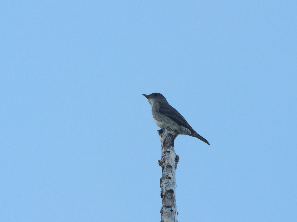 Olive-sided Flycatcher in the burn