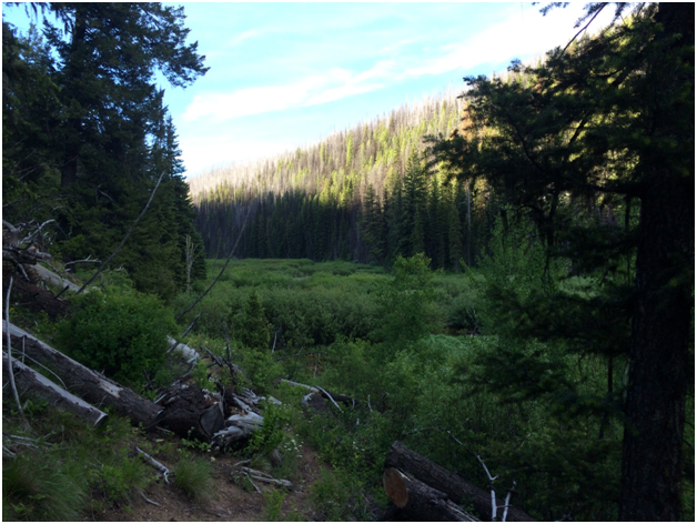 Hennessey Meadow: riparian habitat surrounded by partially burned conifer forest