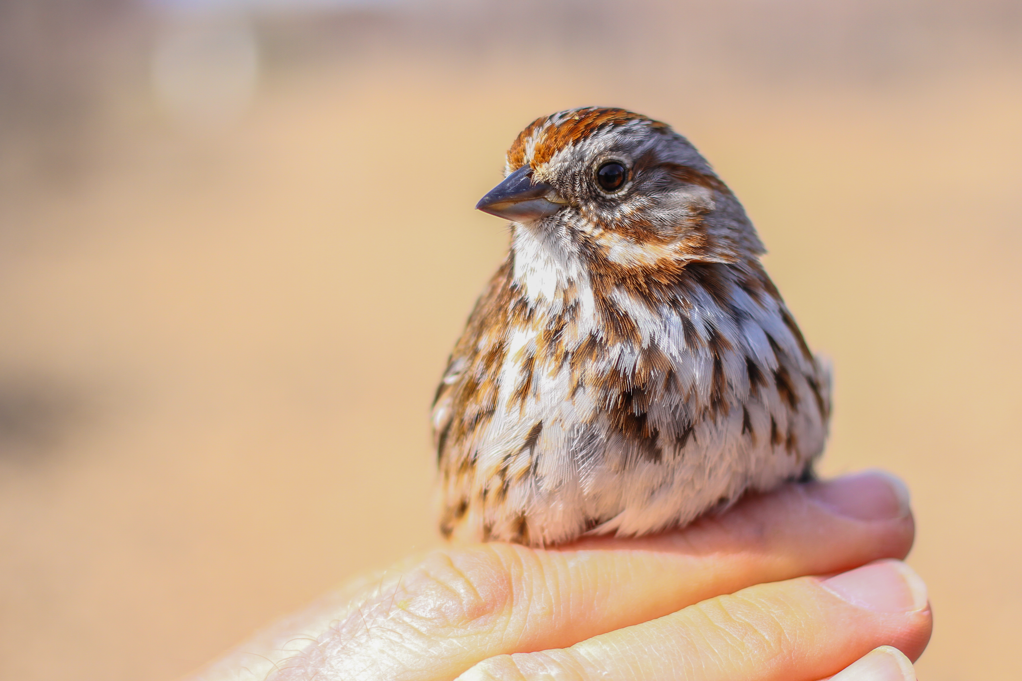 A Song Sparrow held by a biologist