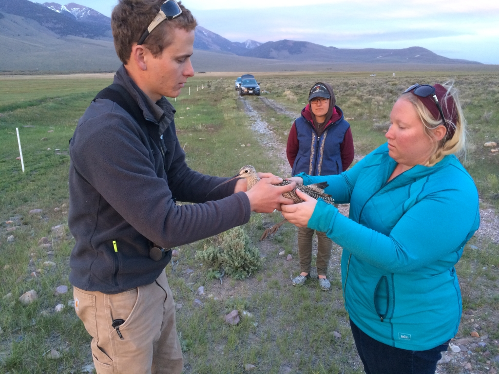 Ben handing a recently trapped curlew to Hattie for release, Pahsimeroi Valley, Idaho