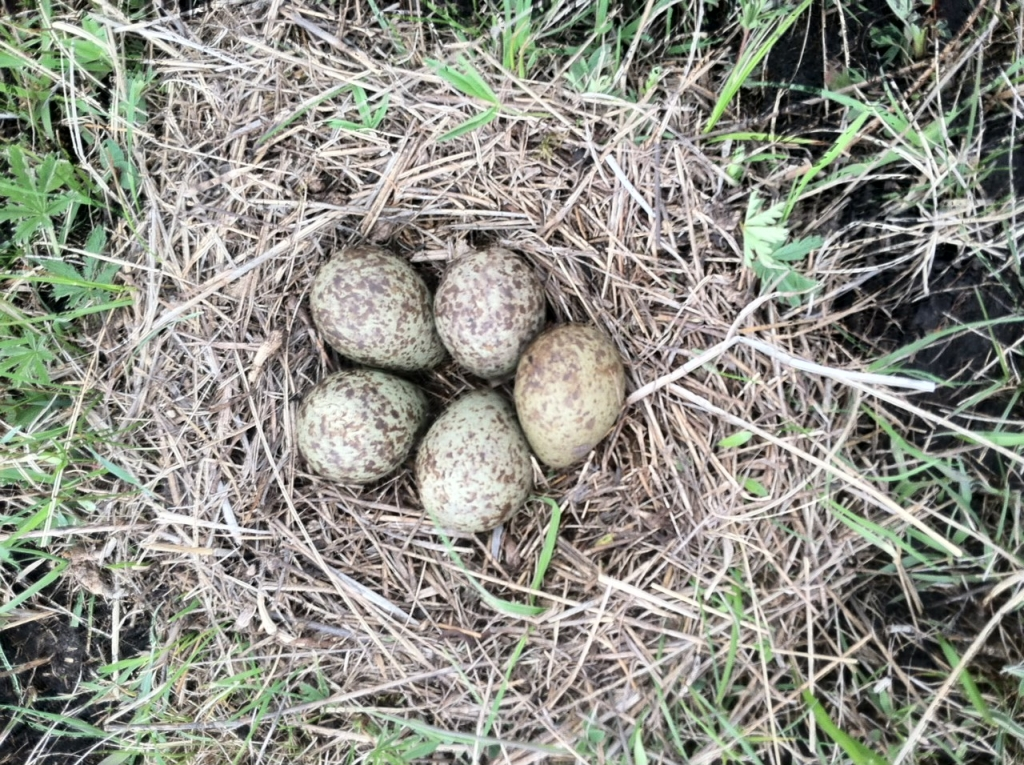 Henrietta and Henry's nest with a record 5 eggs!