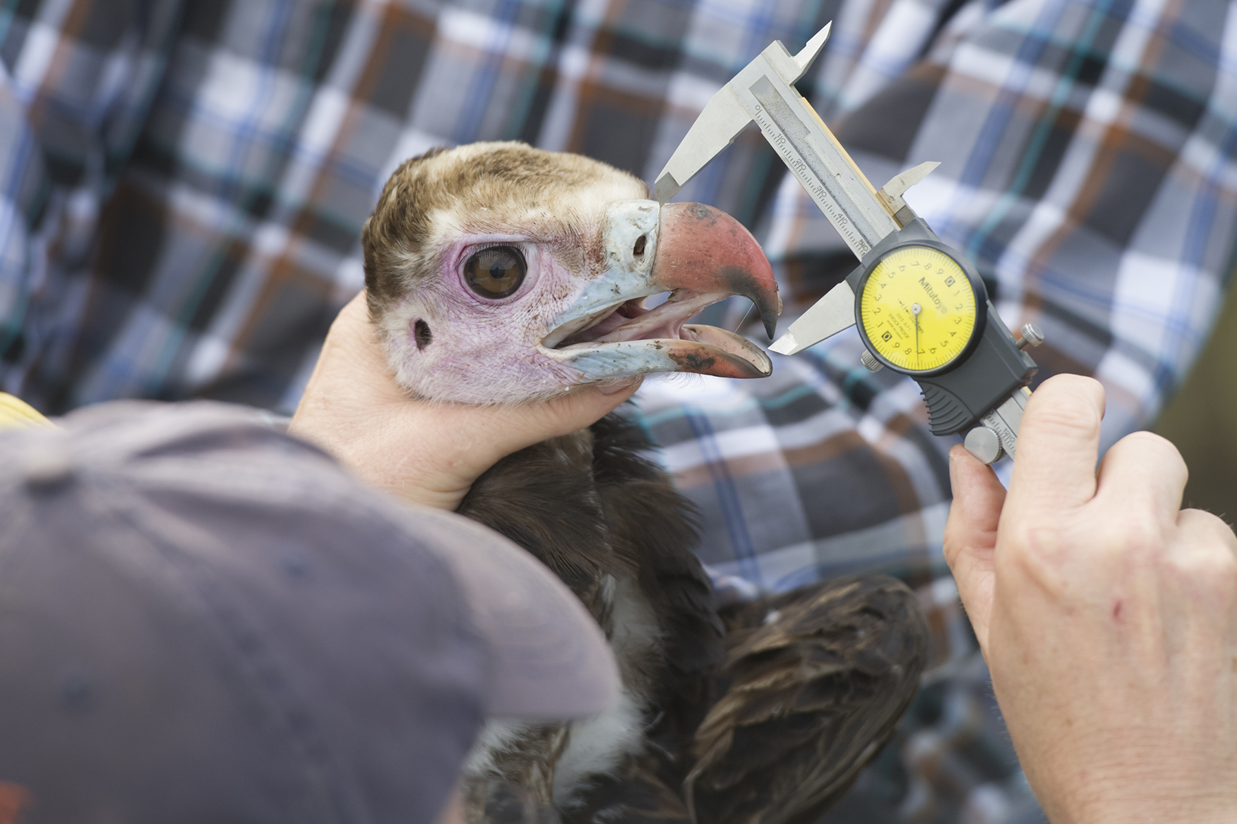 a scientists hand holds the head of a beautiful white headed vulture with pink face, blue lips, and red bill. The scientists other hand holds a caliper and measures the length of the bill