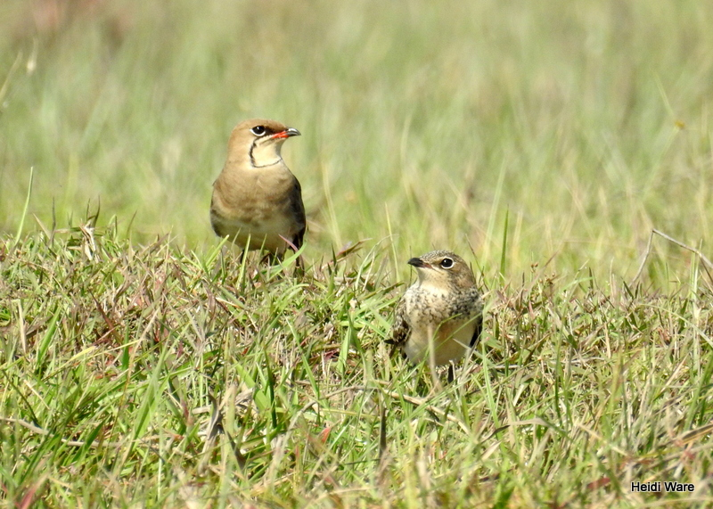 collared pratincole adult and juvenile