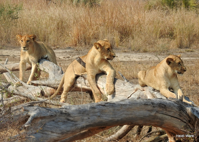three lion cubs in Gorongosa National Park
