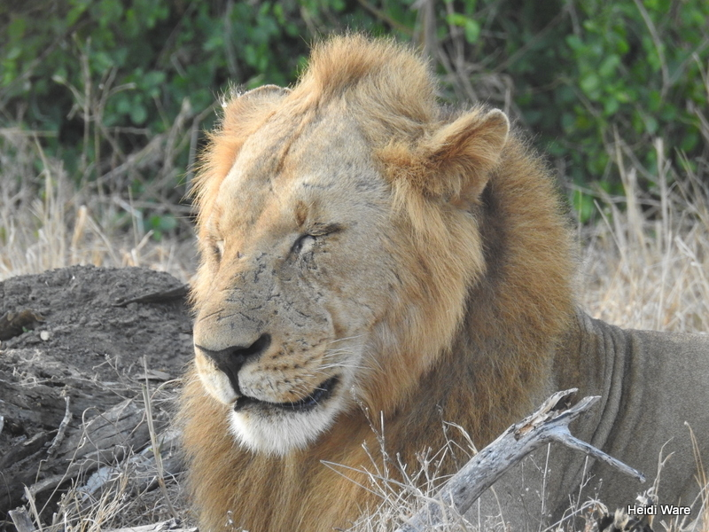 male lion in Gorongosa National Park