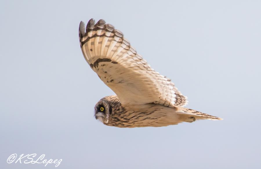 Short-eared Owl photo by KS Lopez