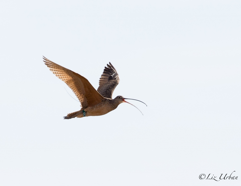 Transmittered Curlew in flight
