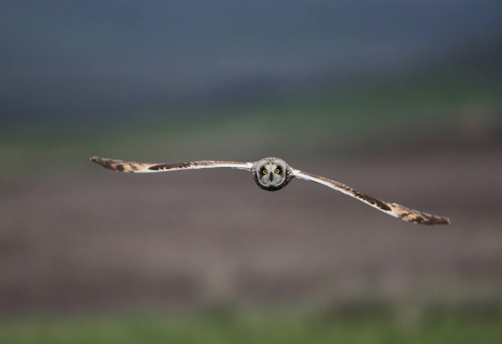 Short-eared Owl by Frozen Feather Images