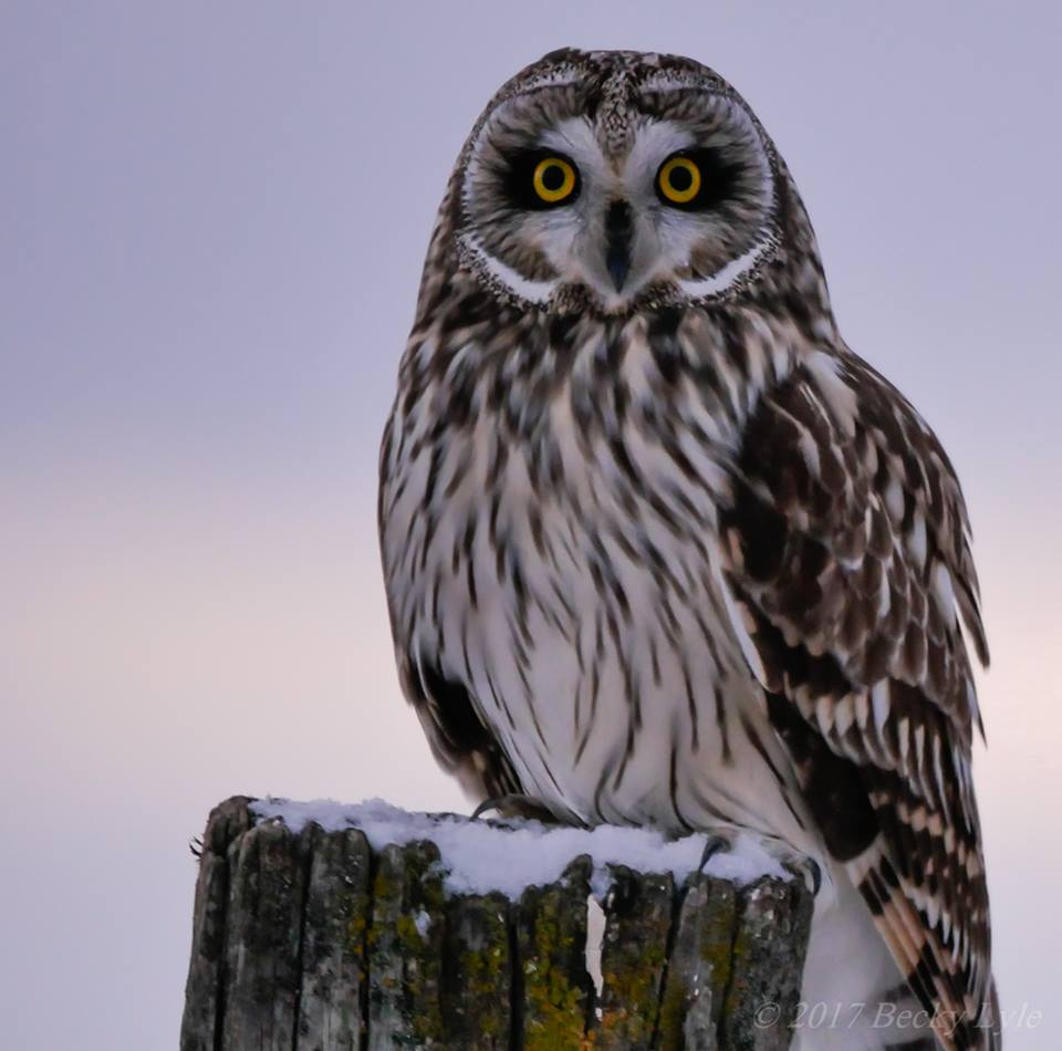 Short-eared Owl on a fencepost