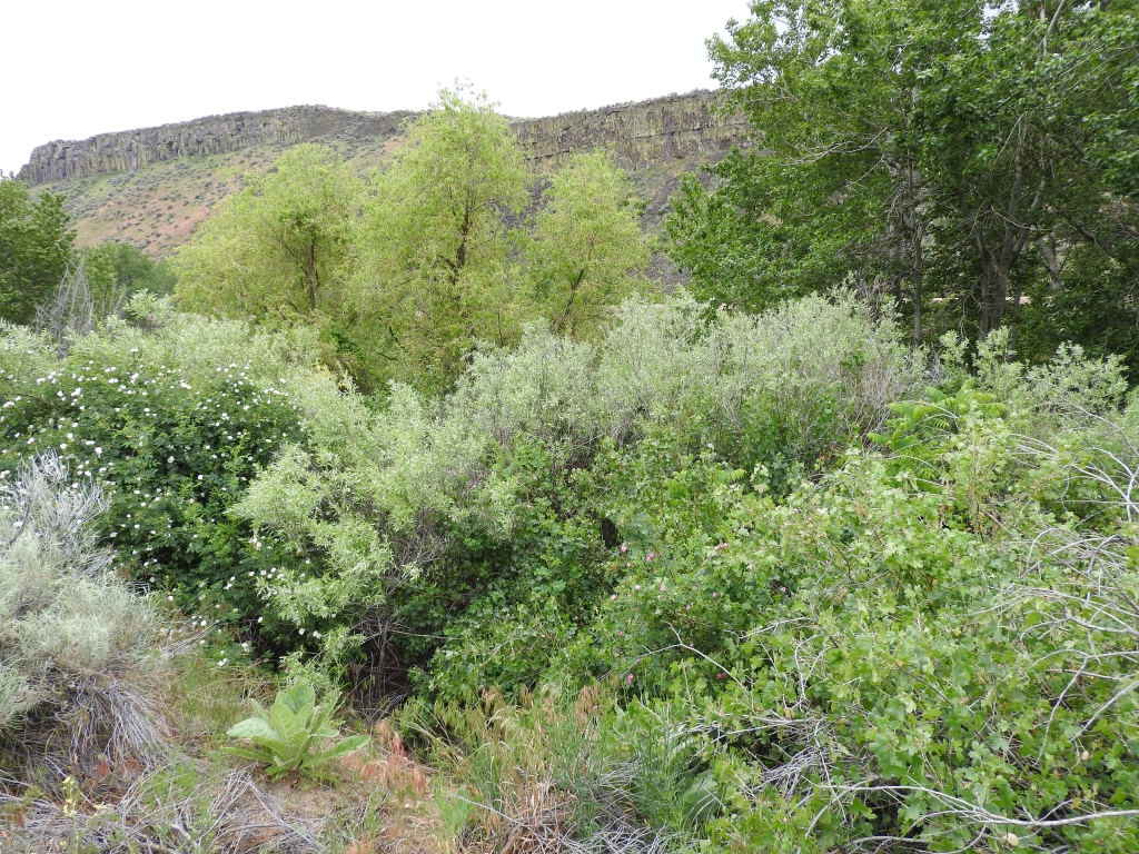 The Cottonwood overstory and thick willow, currant, and rose shrub layer at our Boise River Site is ideal habitat for Yellow Warblers.