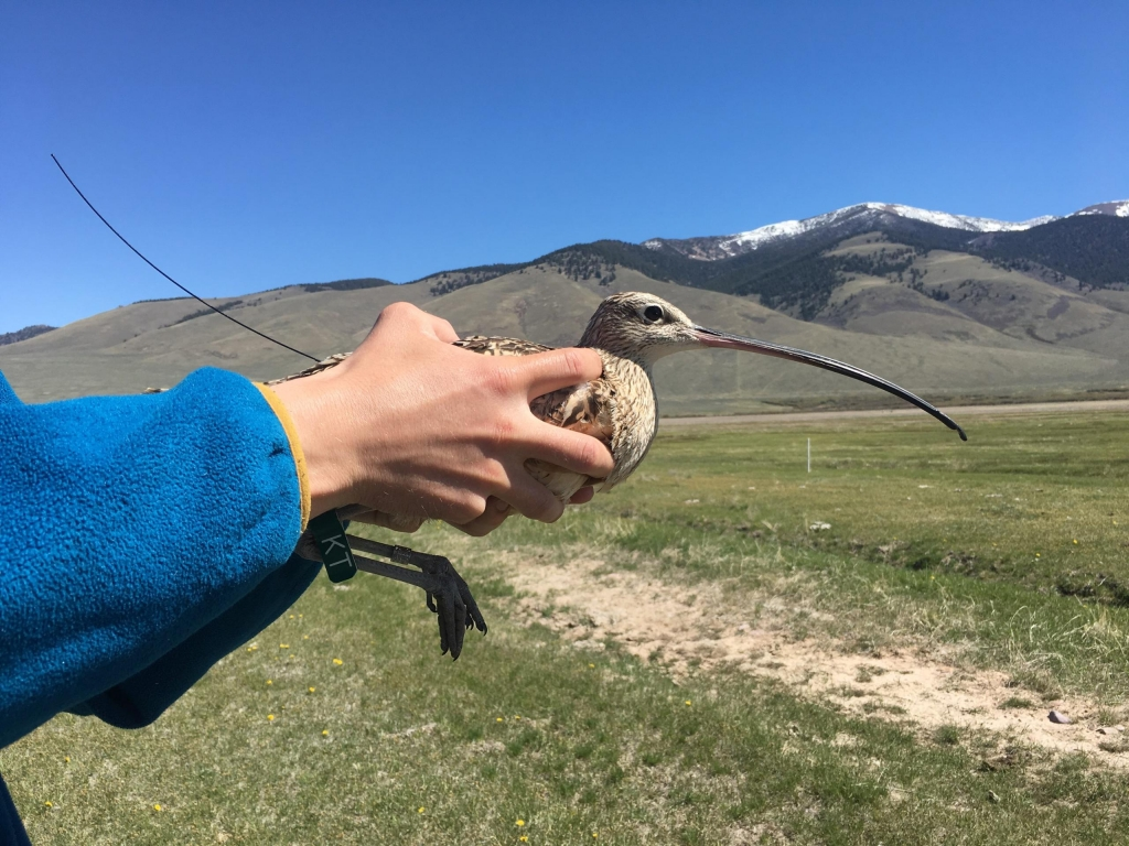 a person holding a long-billed curlew with a grassy field and snow capped mountains in the background