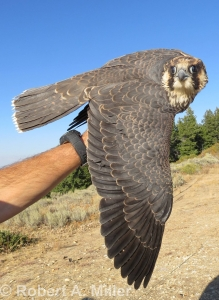 a biologist's hand, holding a Peregrine Falcon