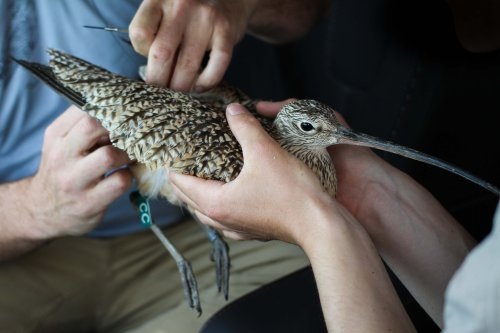 Biologists hold Bethine the curlew and attach a transmitter to her back