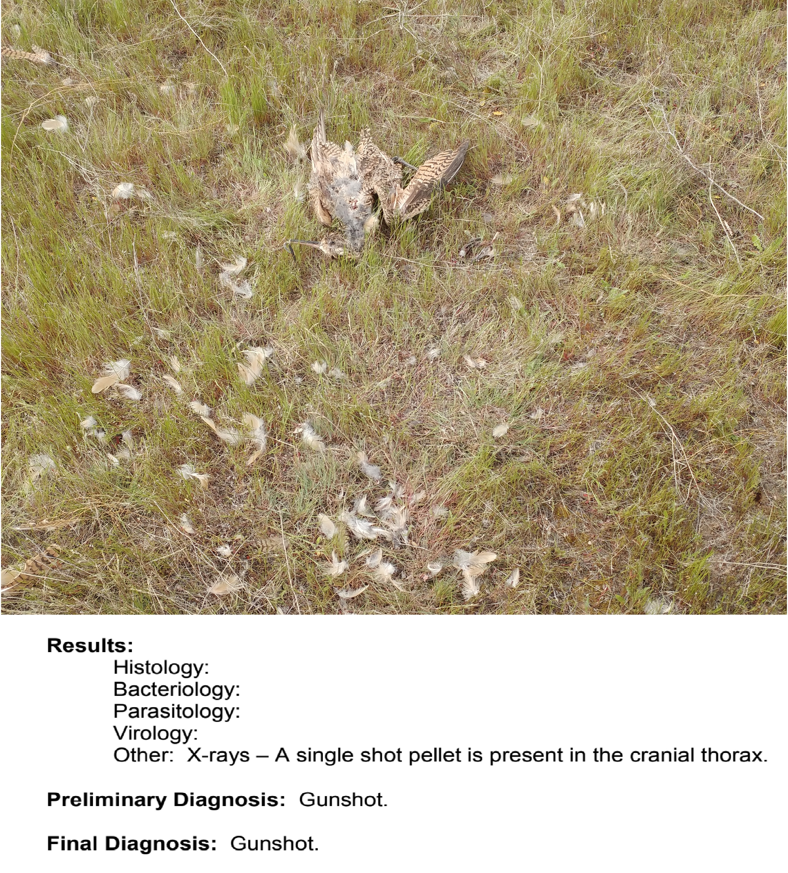 "scattered feathers and the dead body of a curlew lay in the grass. Text from the necropsy report below the photo says ""cause of death: gunshot"""