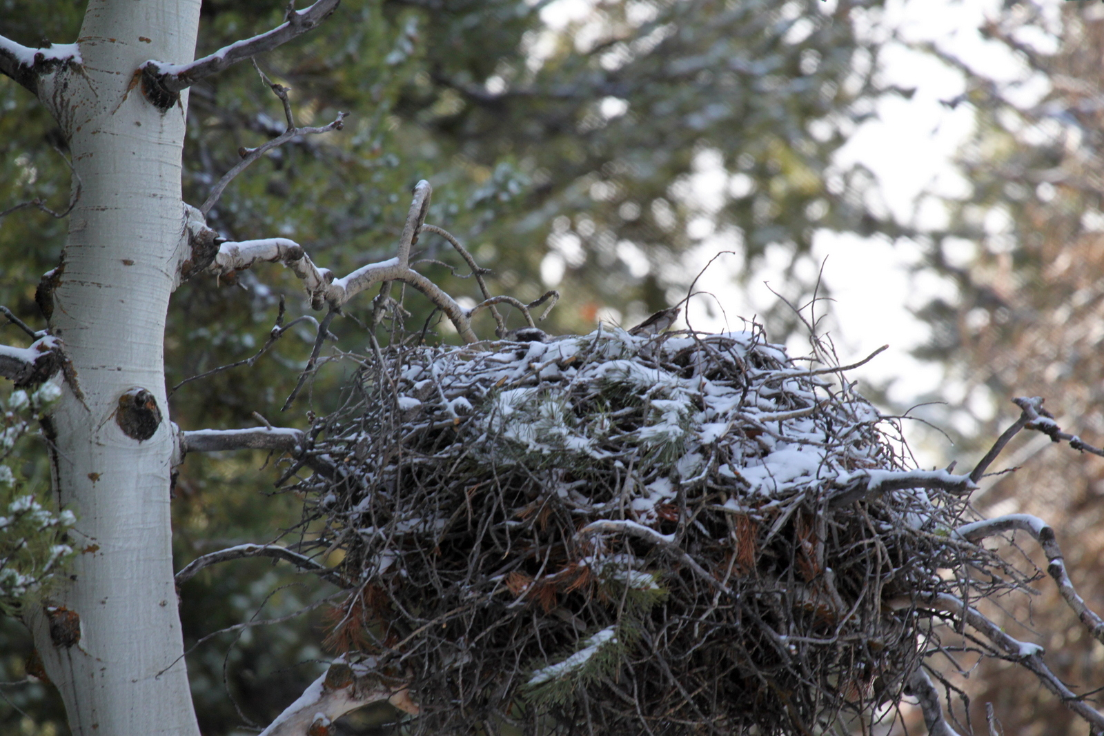 a stick nest covered in snow. A female goshawk's head and tail are barely visible over the rim of the nest