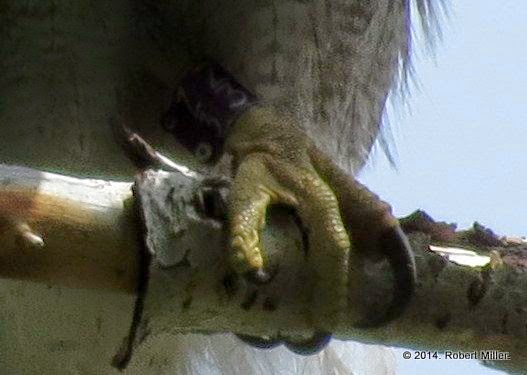 A closeup of a goshawk foot perched on a branch. The long sharp talons are visible, as well as a purple aluminum leg band