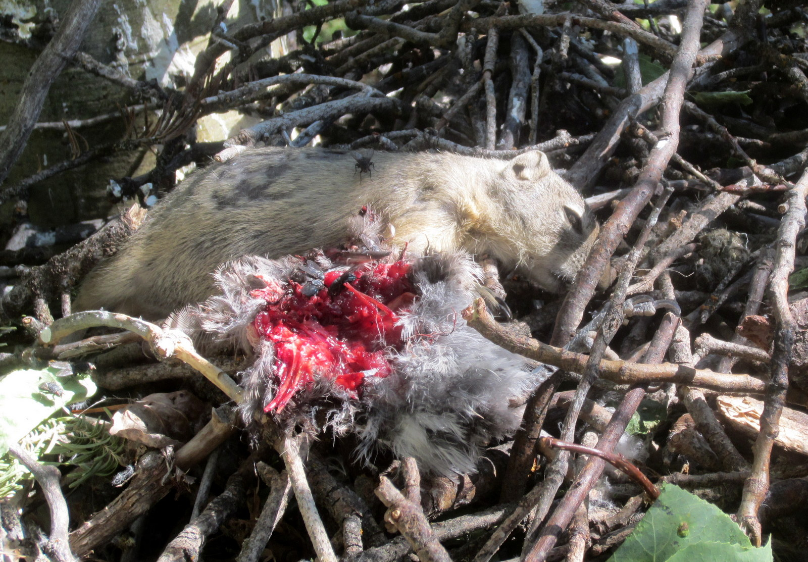 a dead groundsquirrel with eyes closed lays on the sticks of a goshawk nest