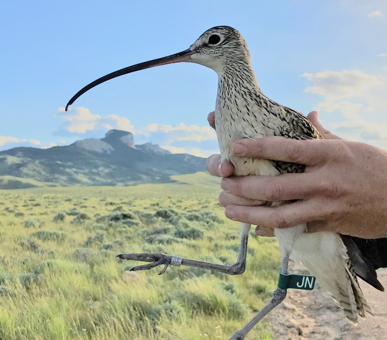 A long billed curlew with Heart Mountain Wyoming in the background