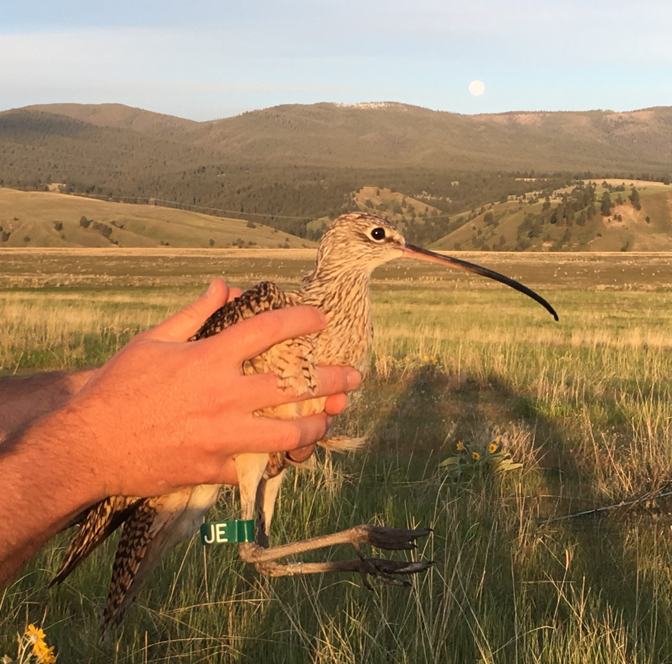 a biologists hands hold a curlew with a green leg band on its leg