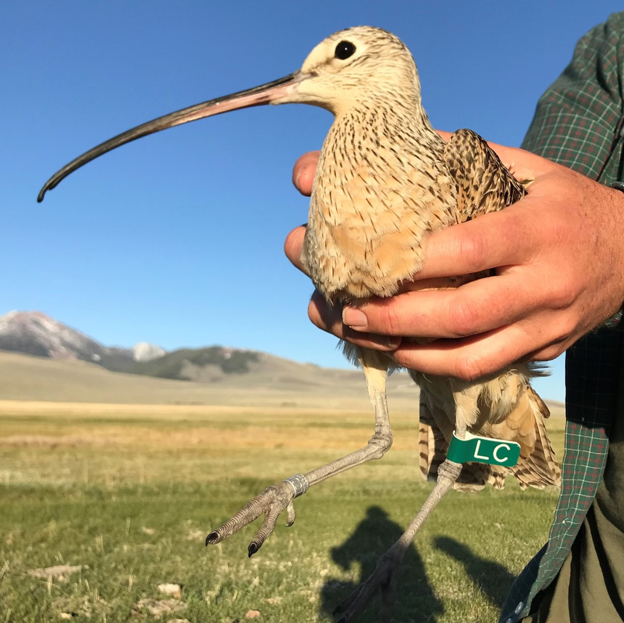 a profile photo for Bacon the curlew