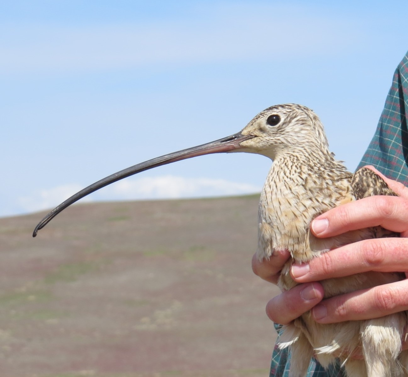 a profile photo for Florence the curlew