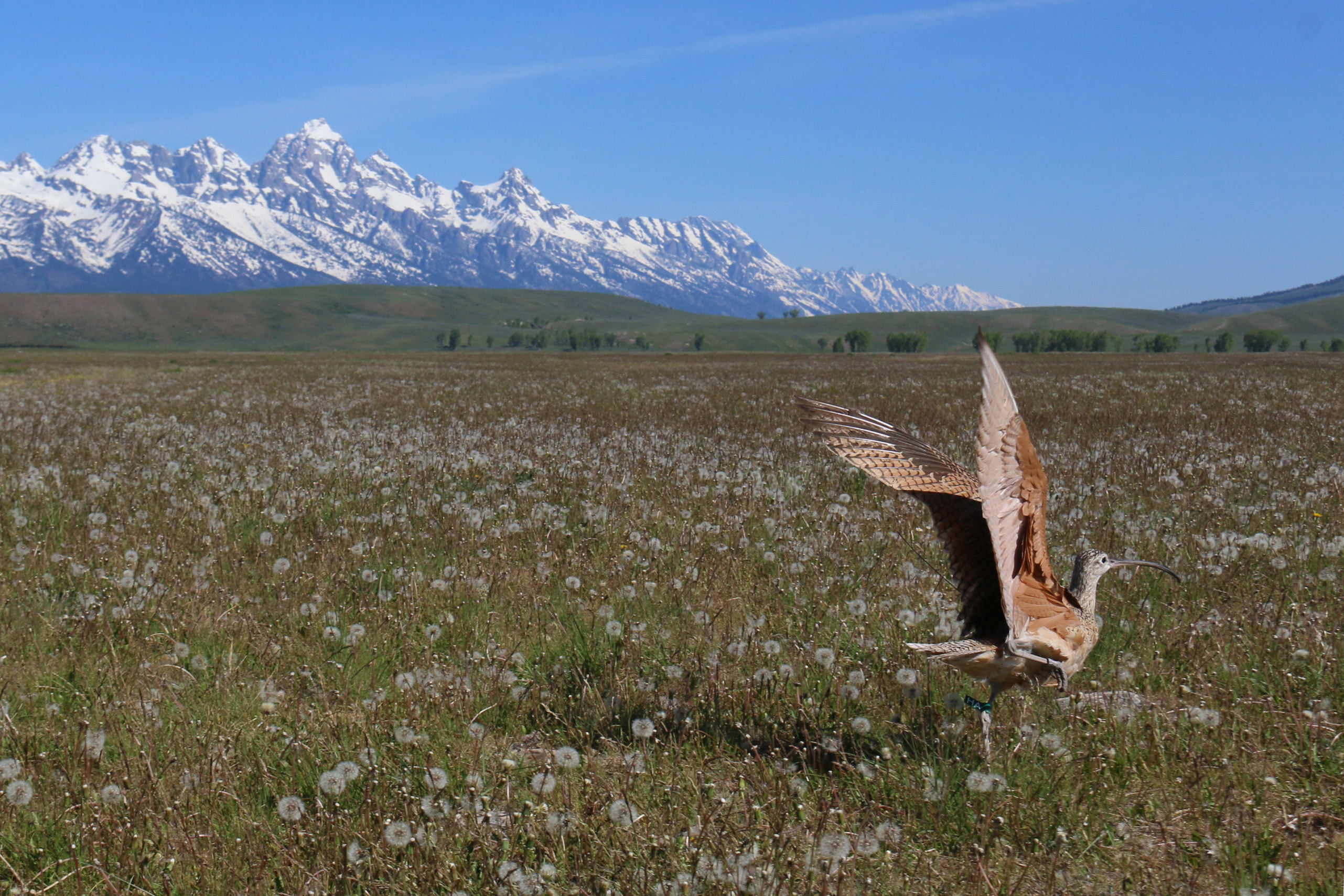 a long billed curlew takes flight with the snowy grand teton mountains in the background