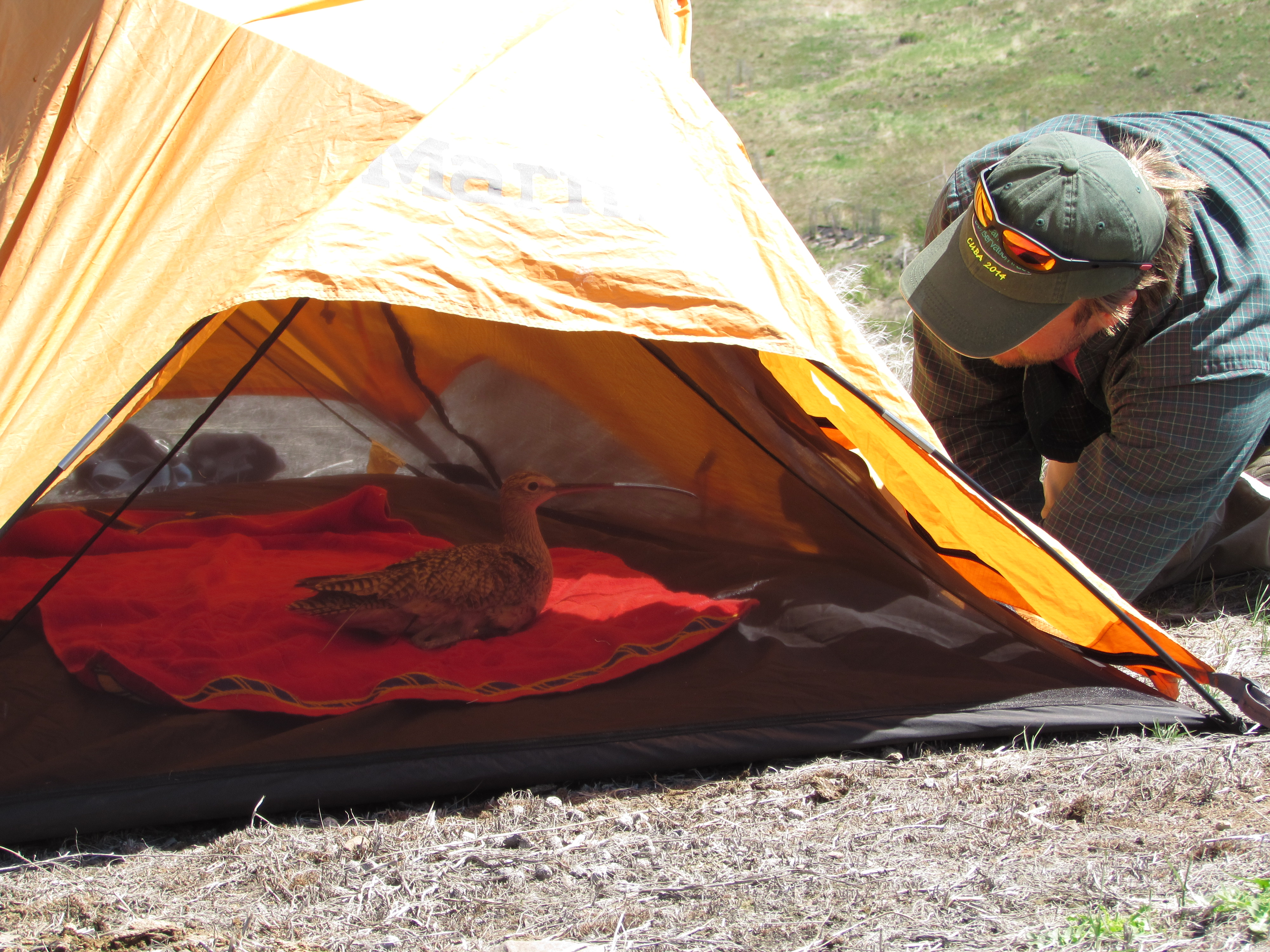 a curlew sits in a mesh tent as a biologist peers in from the outside