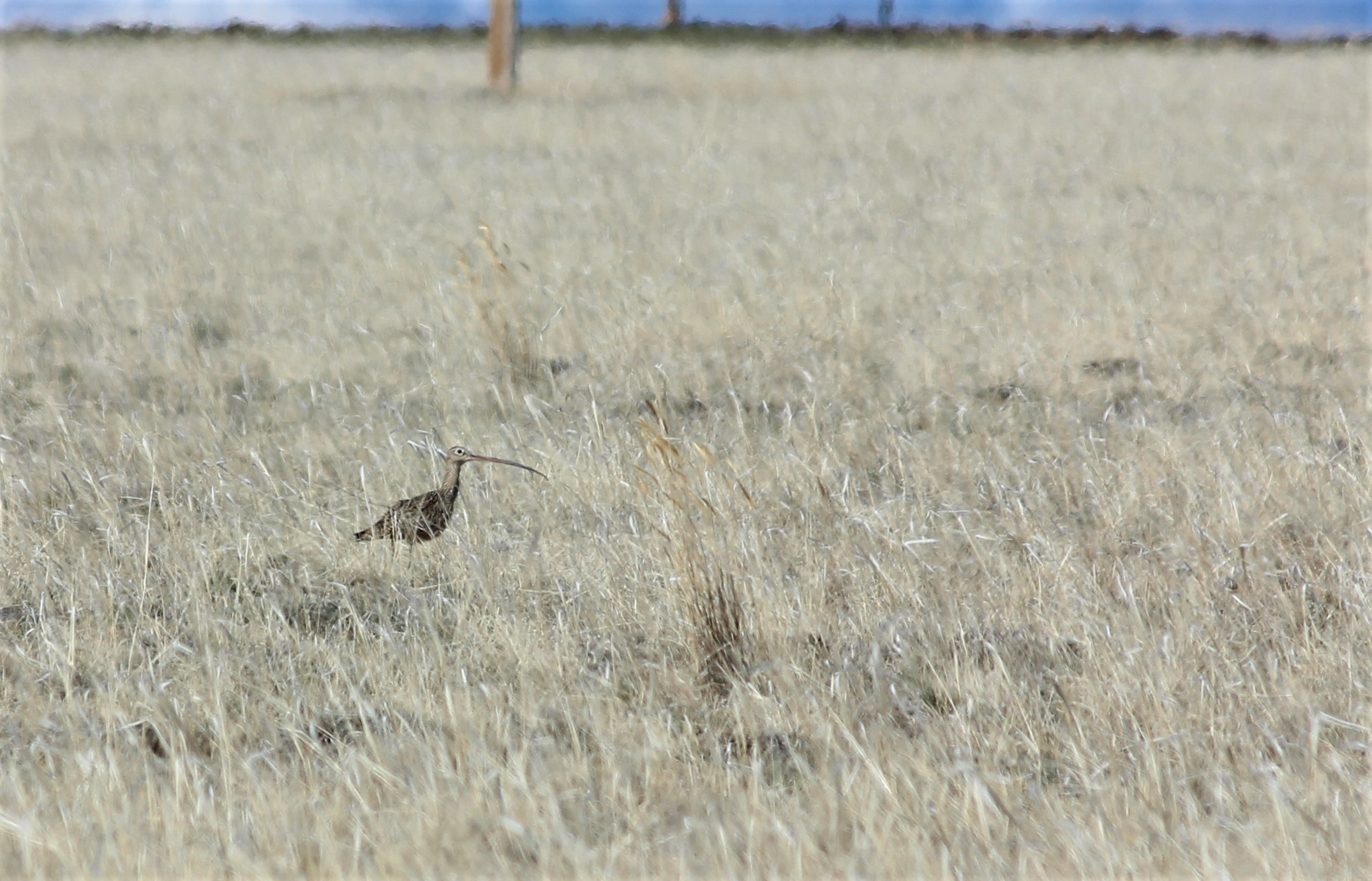 a long billed curlew walking through a grassy field