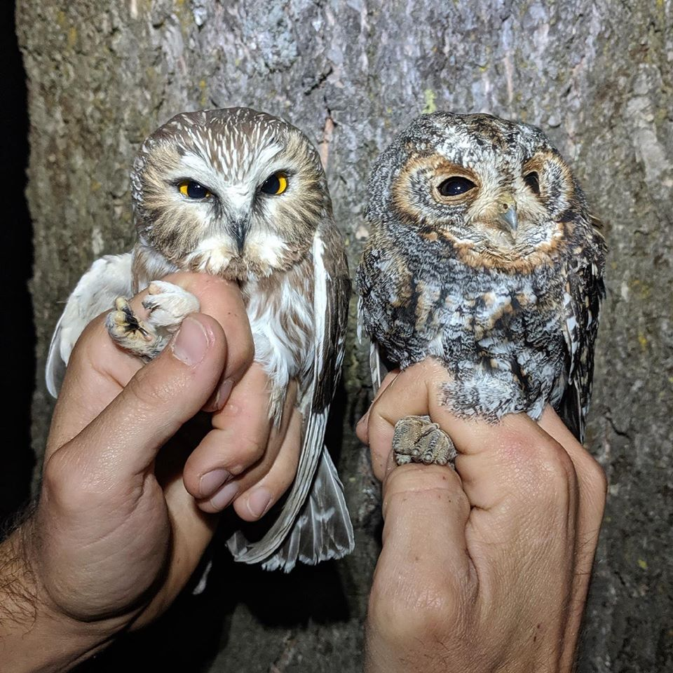 a saw whet owl on the left glares with bright yellow eyes. A flammulated owl on the left looks sleepy