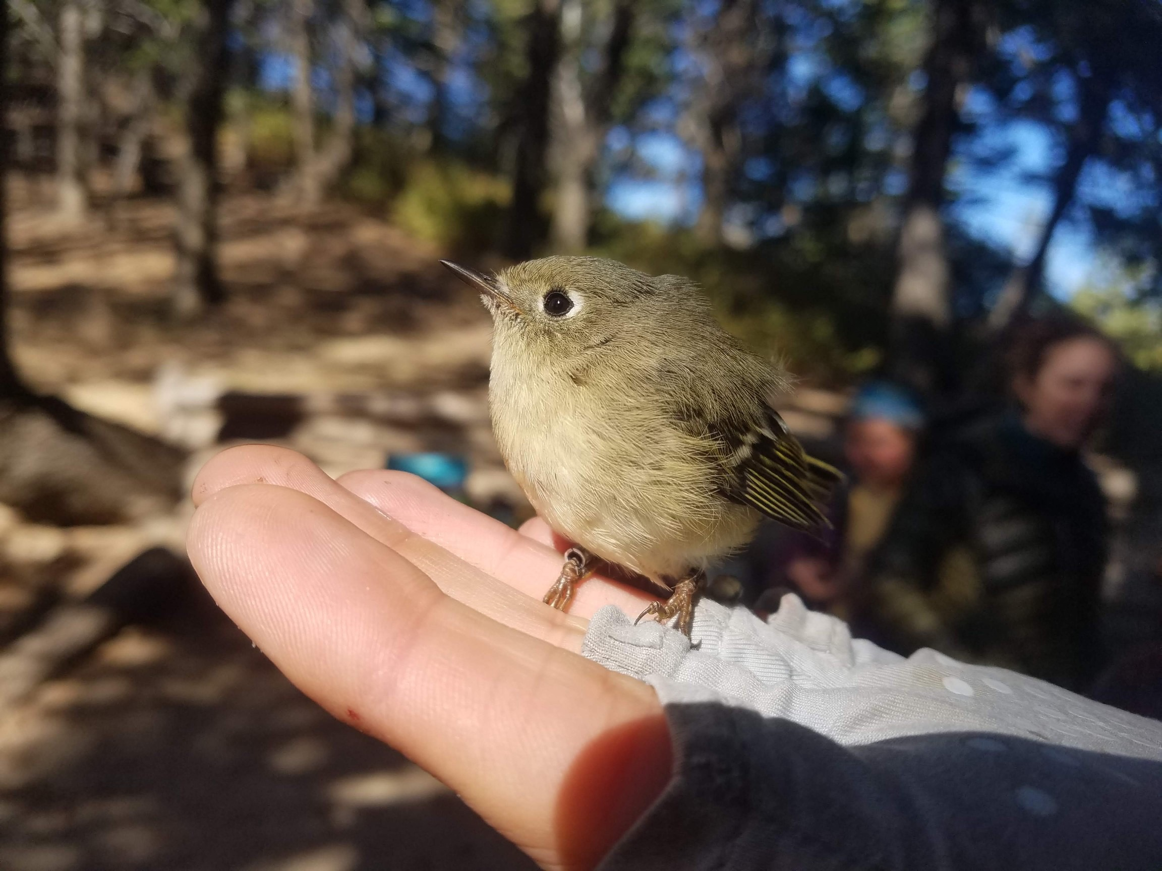 a small greenish bird sits perched in the open palm of a biologist