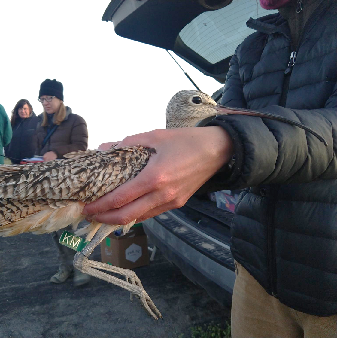 a profile photo for Jupiter the curlew