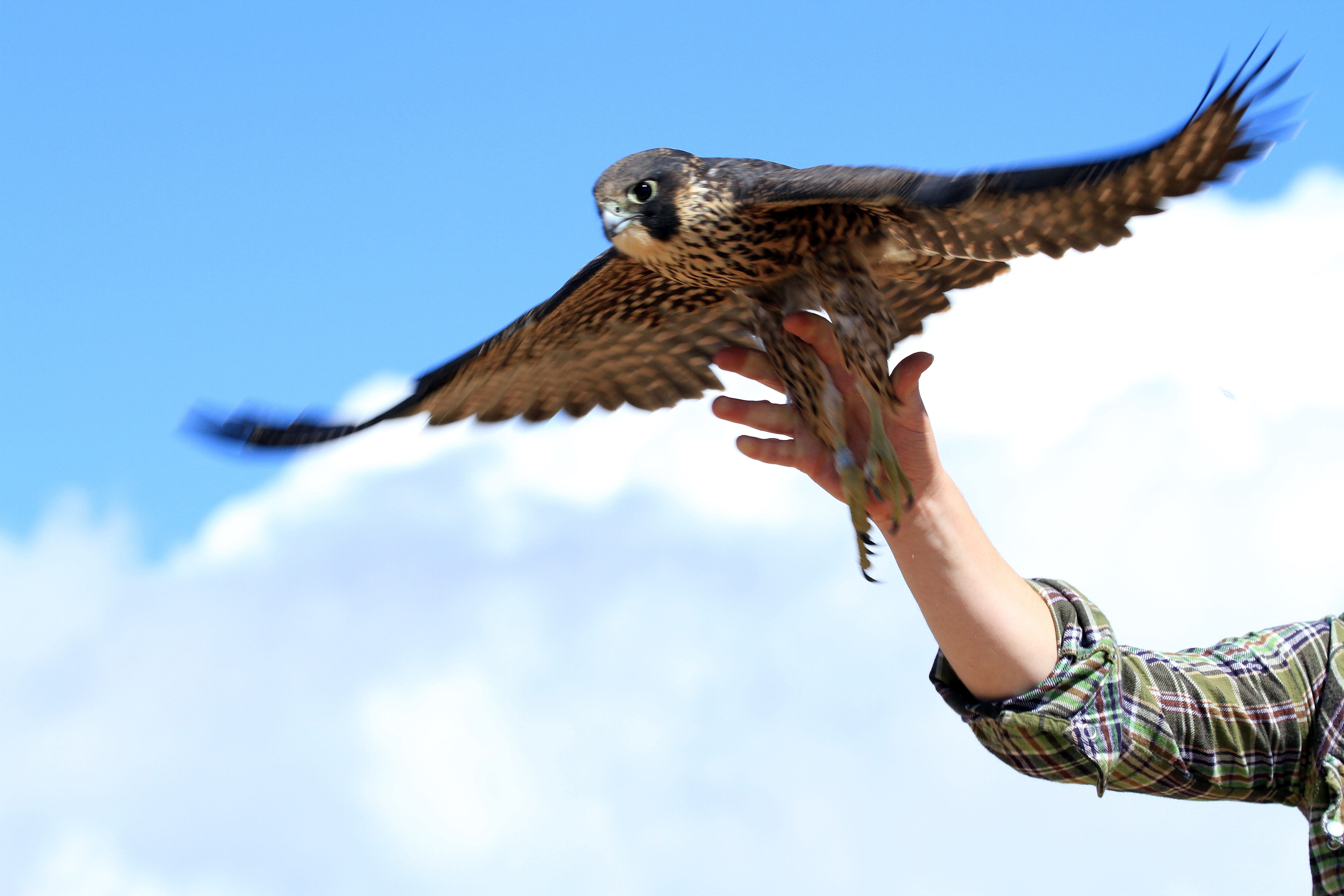 a biologists hand is seen held open to release a peregrine falcon. the falcon flies away with wings spread