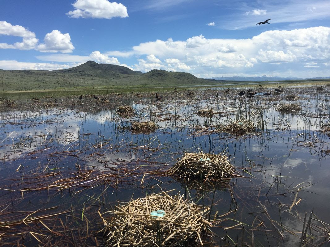 a flooded wetland stretches in the distance with mountains in the background. in the foreground a number of stick nests float on the water surface with light blue eggs inside. and adult ibis flies overhead nearby
