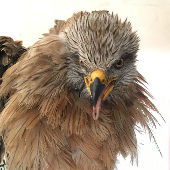 the face of a black kite