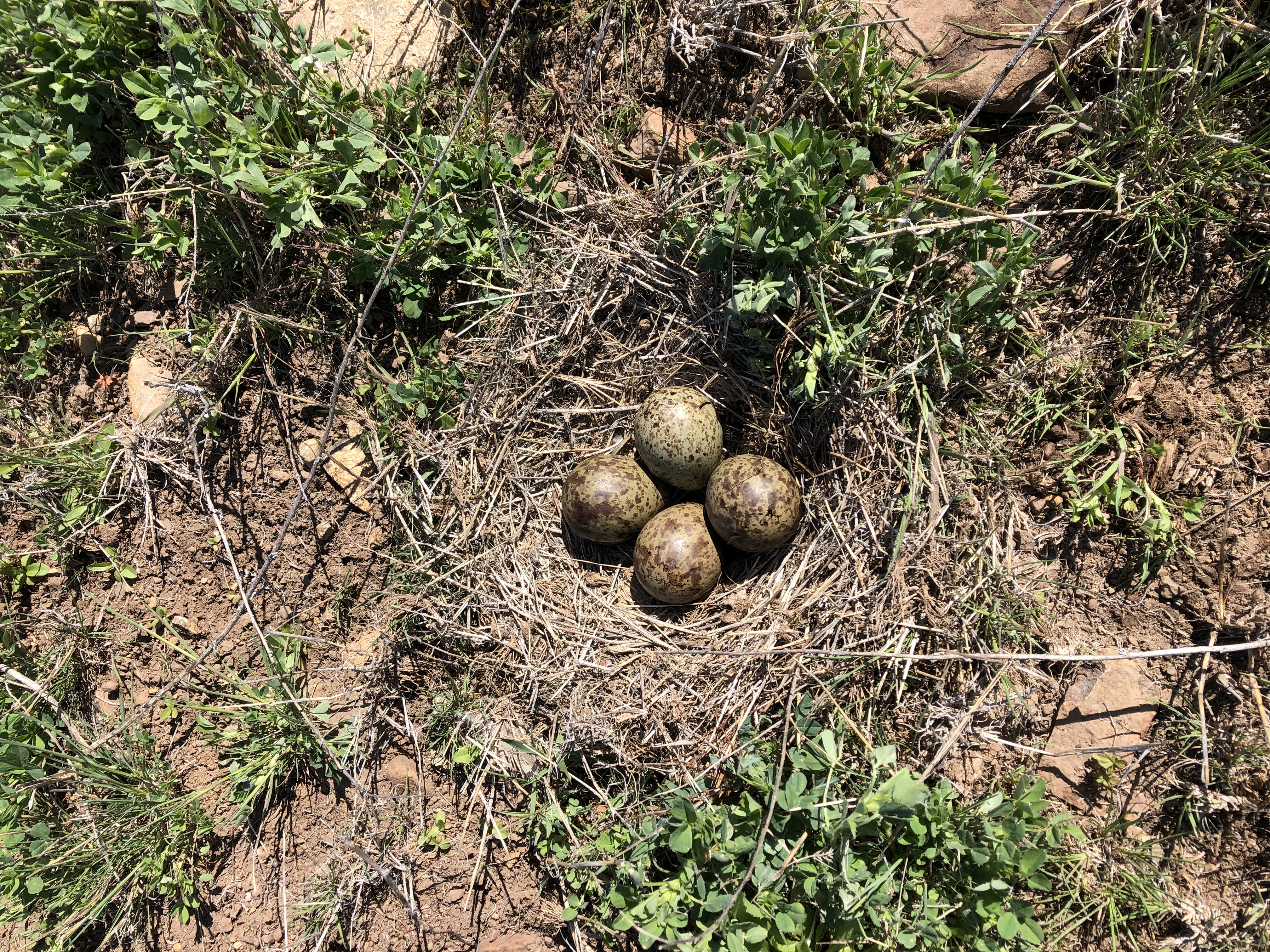 4 dull greenish eggs with brown spots in a ground nest