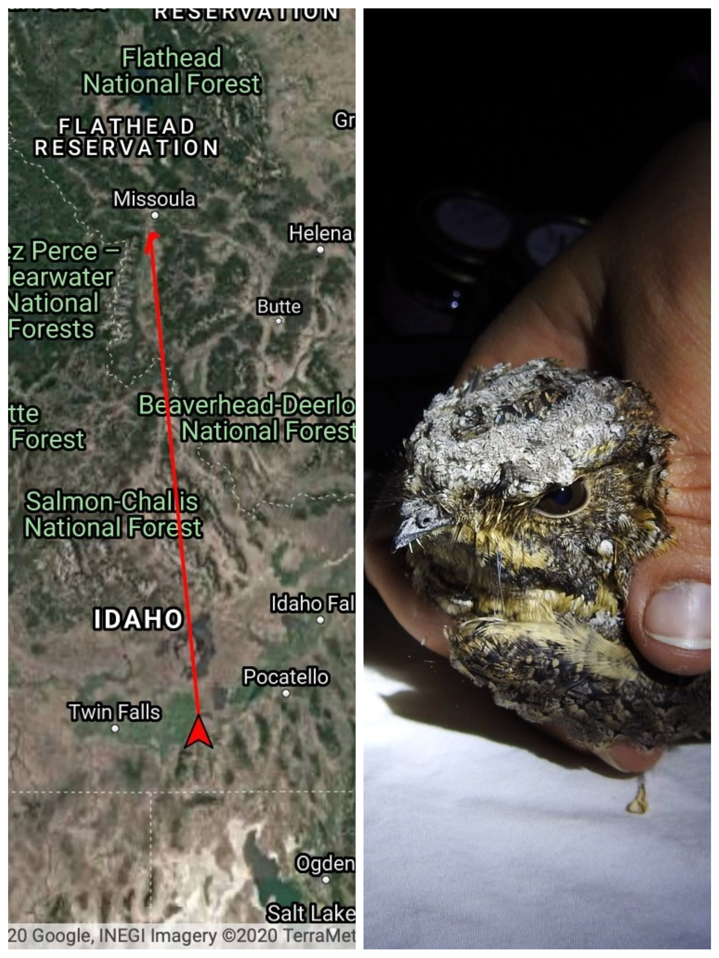 left image displays a map with a pin near Missoula Montana and a track leading to Idaho between Twin Falls and Pocatello. right image shows a biologists hand holding a speckled gray and brown bird in the light of a flashlight