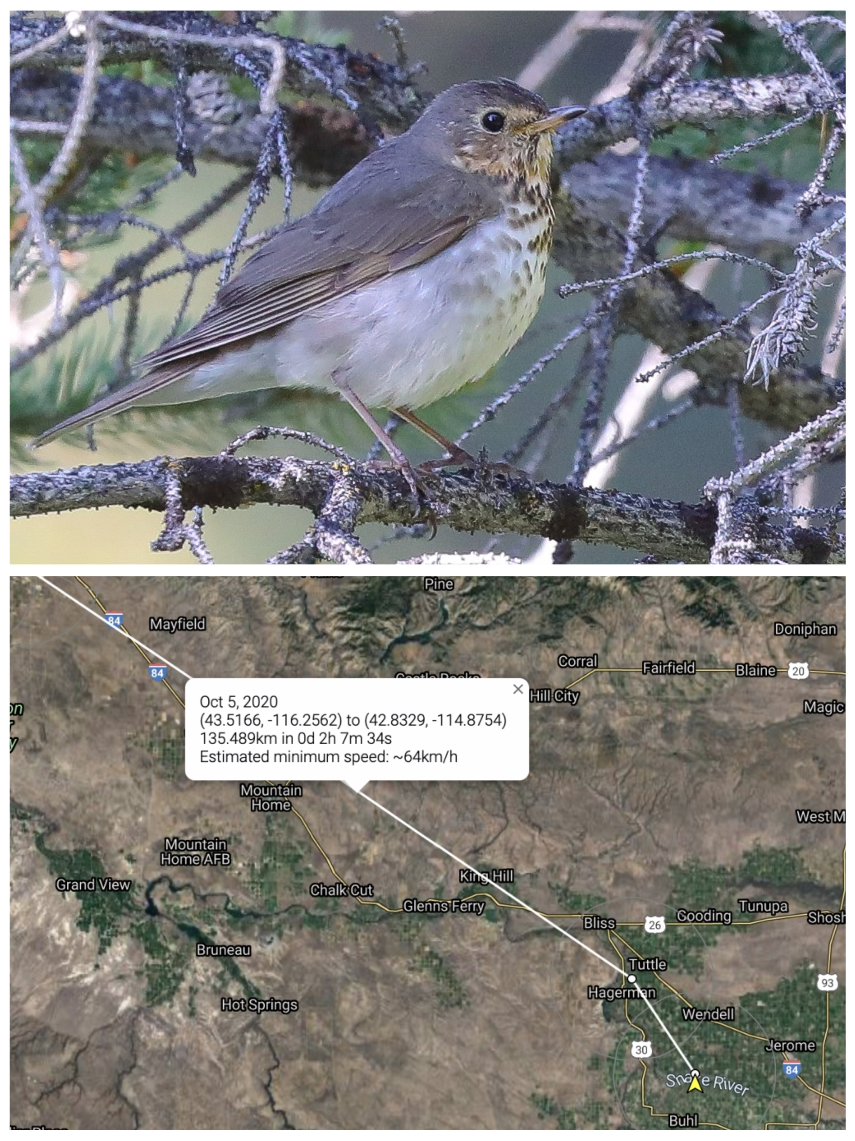 top image shows a swainson's thrush which is a small brown bird with white spotted chest. bottom image shows a map of towns in Idaho with a pin placed near Mountain Home Idaho.
