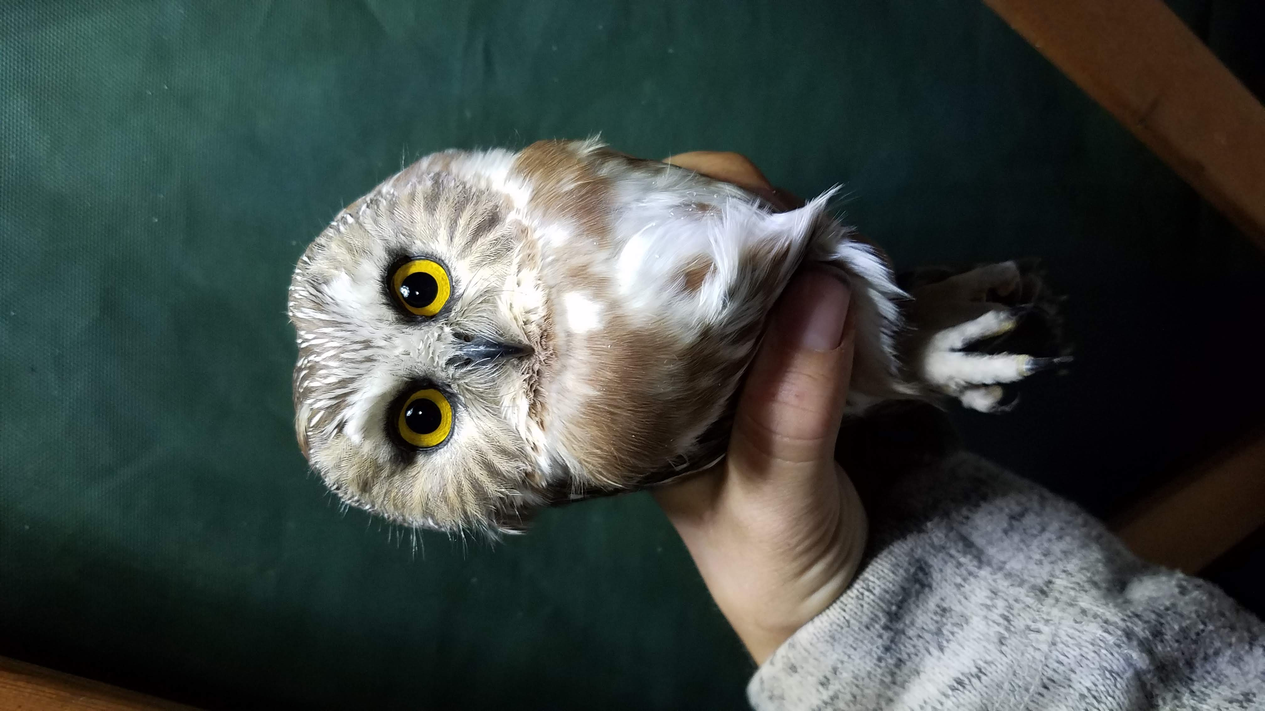a small owl with bright yellow eyes looks at the camera. Held gently by a biologist's hand